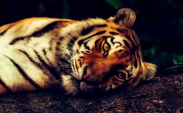 Dónde ver animales en Vietnam - Ver tigres en Vietnam: granjas que rozan la ilegalidad