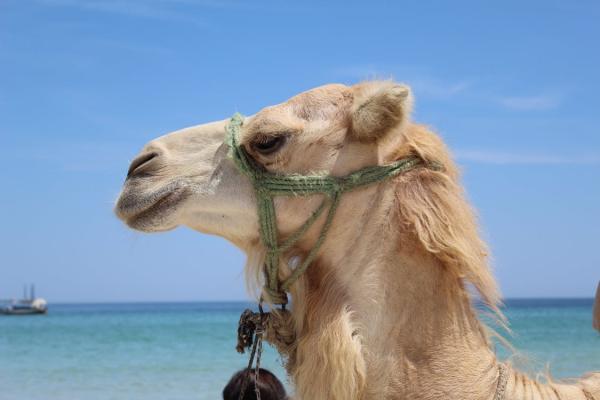 Dónde montar en camello en Tenerife - El camello canario, uno de los tesoros de la ganadería de las islas