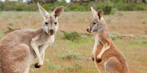 Dónde ver animales en Australia