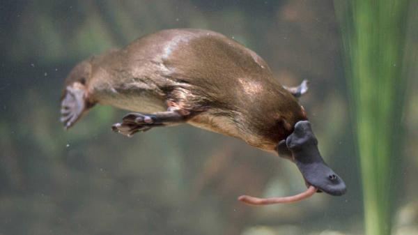 Dónde ver animales en Australia - Sitios para ver ornitorrincos en Australia