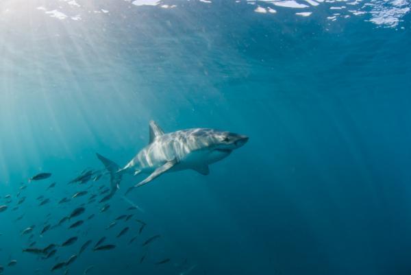Dónde nadar con tiburones en Sudáfrica